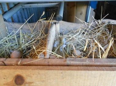 Maryse - oeufs dans nichoirs de poulailler fait avec de la récup