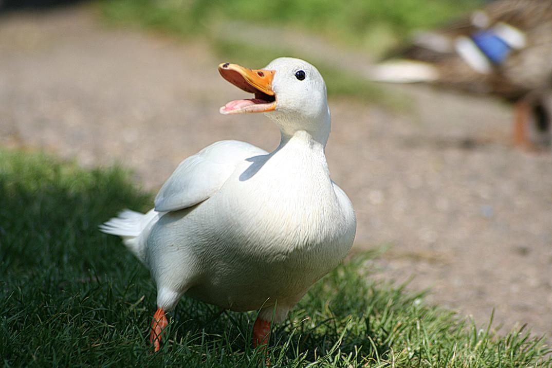 Les canards poule is re for Amaryllis qui ne fleurit pas