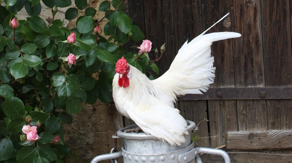 poule pondeuse vienne 38