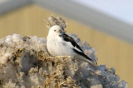 A Snow Bunting just arrived in Cambridge Bay for the summer