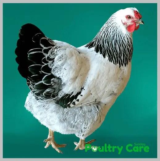 Columbian-Wyandotte-Chicken