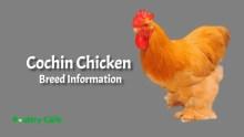 Cochin_Chicken_breed_information