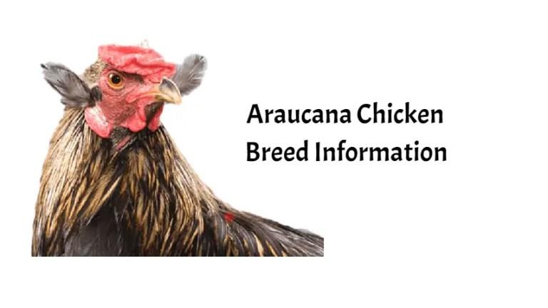 Araucana-Chickens-Breed