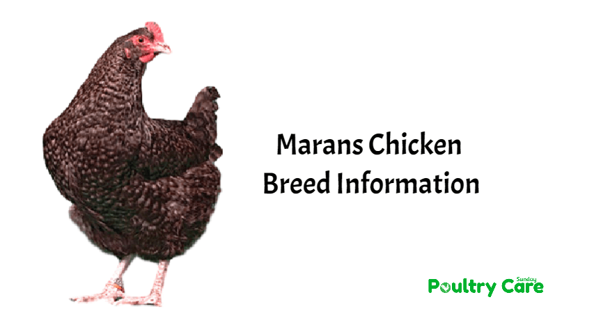 Marans-Chicken-Breed