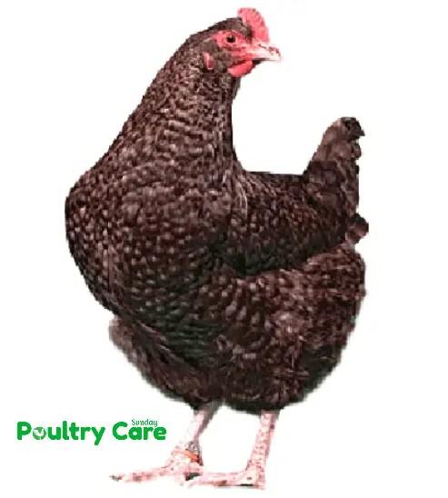 Marans-Chicken