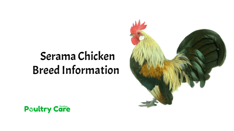 Serama_Chicken_Breed