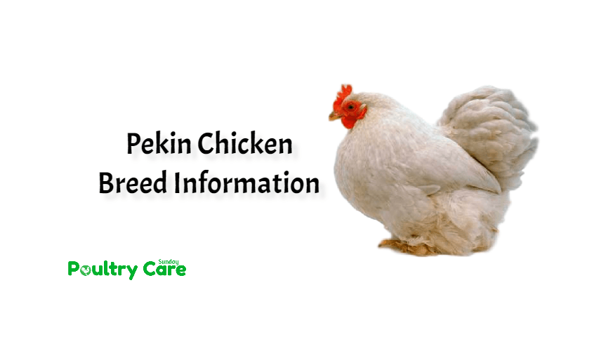 Pekin Chicken Breed