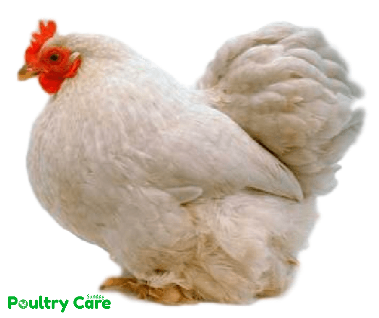 Pekin Chicken