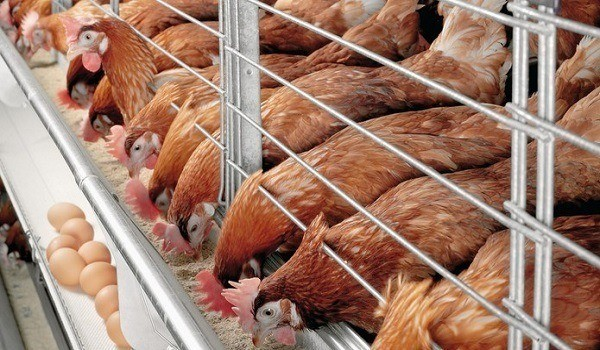 poultry farming business