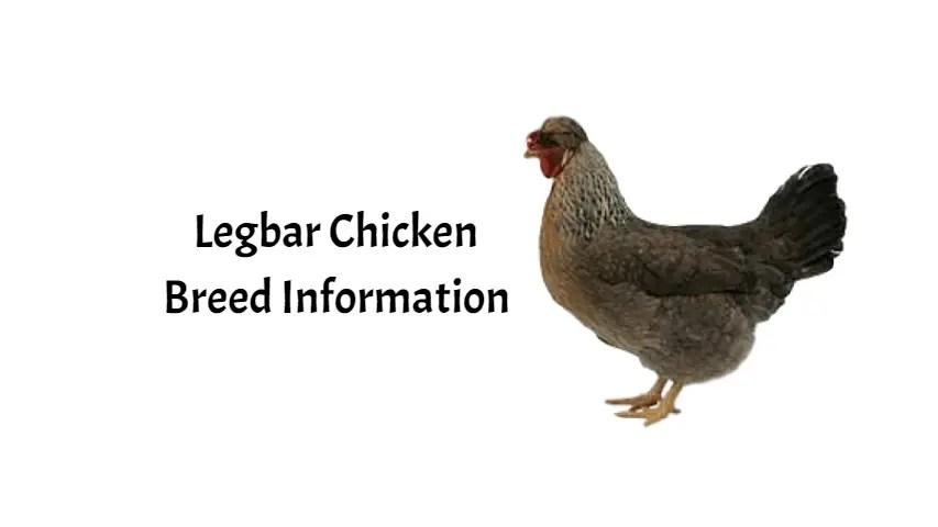 Legbar Chicken (Cream Legbar)