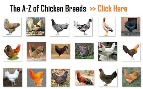 Chicken-Breeds_A-Z