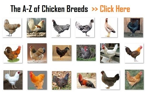 Chicken-Breeds_A-Z