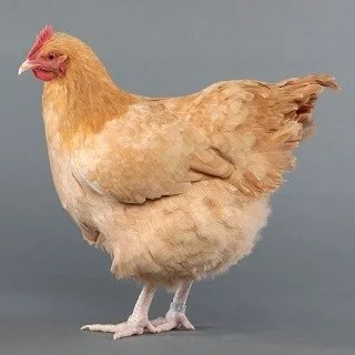 Orpington Chicken