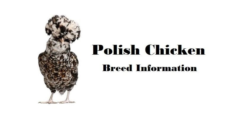 Polish Chicken Breed Information, Characteristics, Temperament