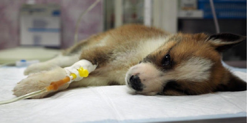 Parvo In Dogs: Warning Signs And Prevention