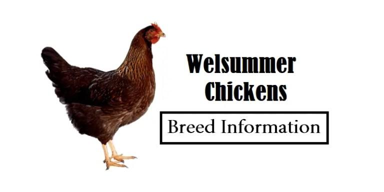 Welsummer Chickens Breed