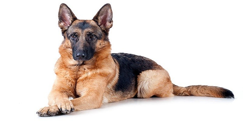 The History Of The German Shepherd Breed