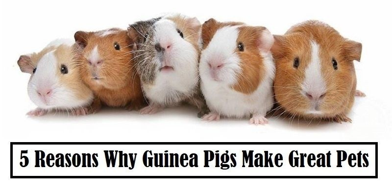 5 Reasons Why Guinea Pigs Make Great Pets