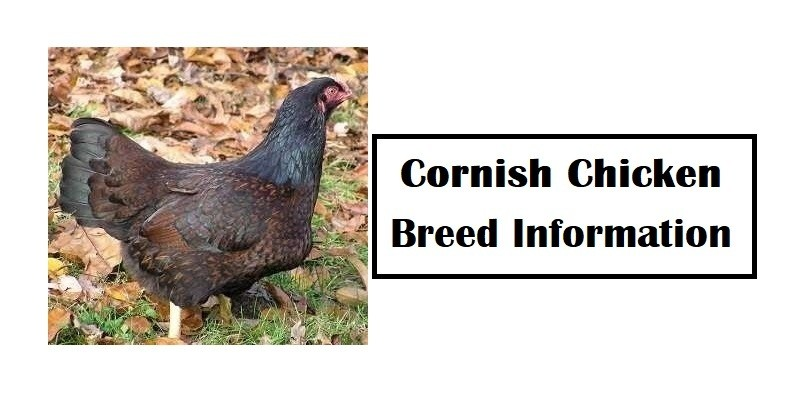 Cornish Chicken Breed Information, Characteristics, Temperament