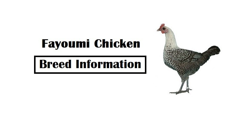 Fayoumi Chicken Breed Information, Characteristics, Temperament