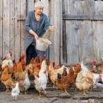 Expert Guides On Feeding Your Chickens and Have The Best Results