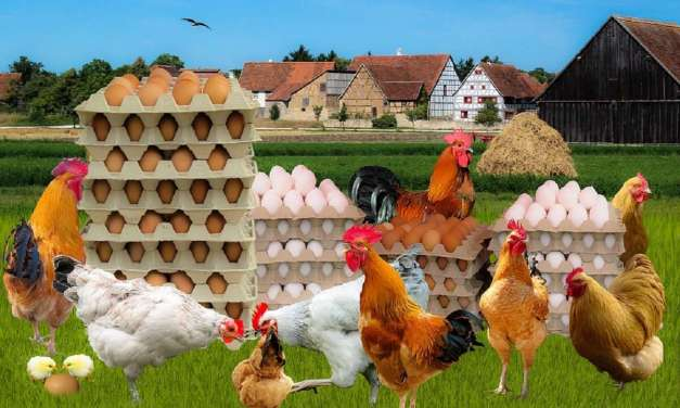 Proven Poultry Health Management Tips That Give Excellent Results