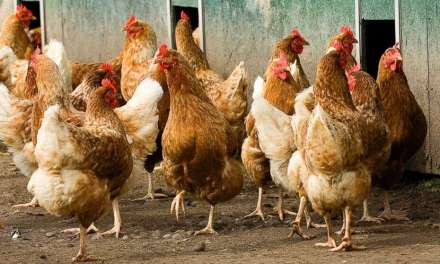 6 MOST COMMON POULTRY DISEASES YOU CAN ELIMINATE WITH QUALITY NUTRIENTS