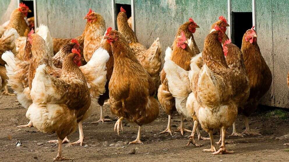 Top Tips for Looking After Your Chickens in 2020