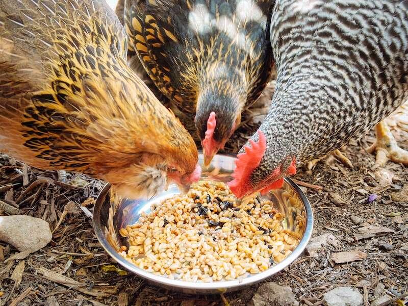 fermented chicken feed
