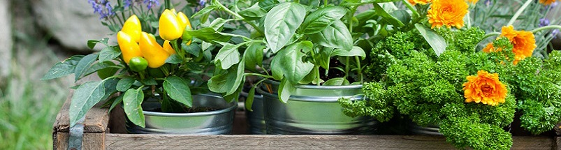 herbs to boost chickens immune system