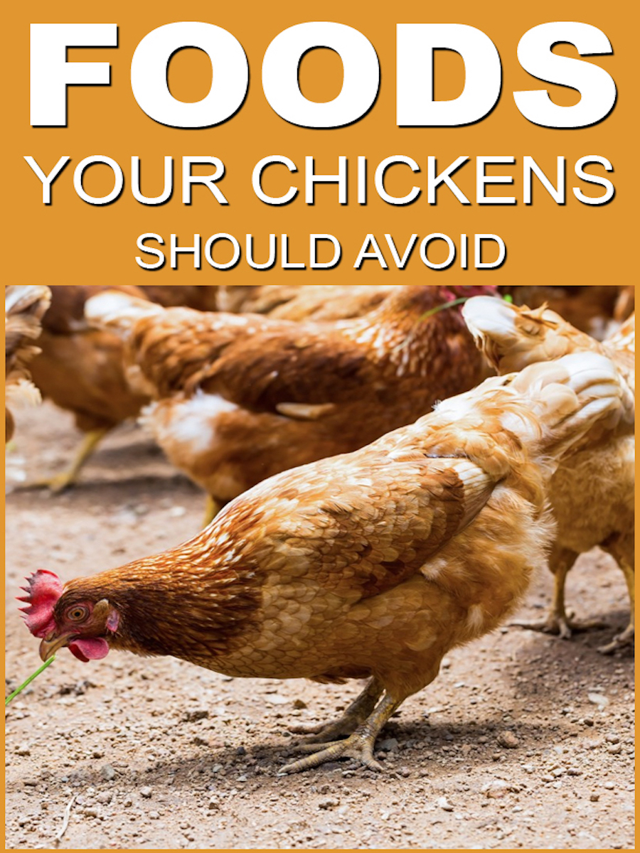 food your chickens should avoid