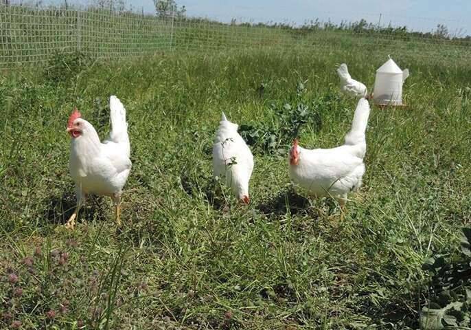 california chickens