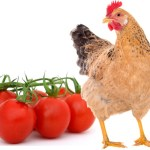 5 Amazing Facts: Can Chickens Eat Tomatoes