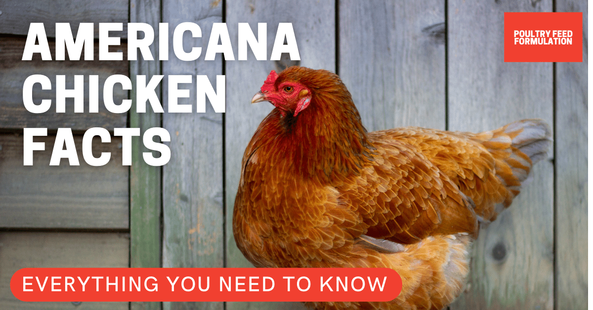 Everything You Need to Know of the Amazing Breed of Americana Chicken or Ameraucana in 2021