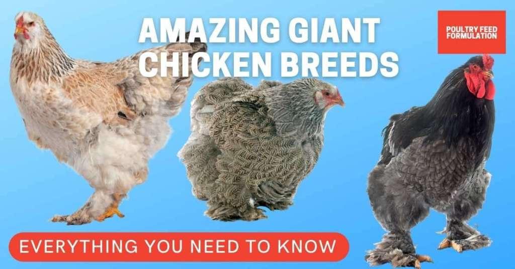giant chicken breeds