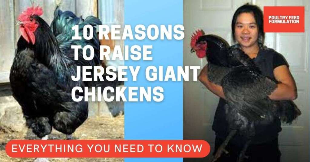 jersey giant chickens