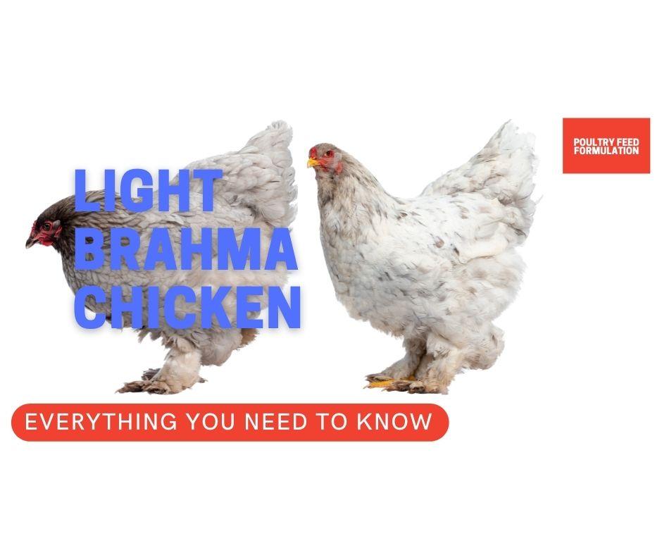 light brahma chickens