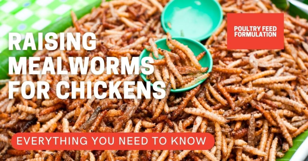 raising mealworms for chickens