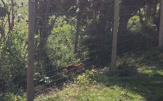 Fox-near-electric-fence
