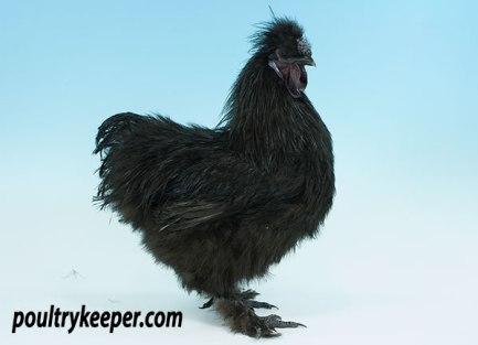 Black Silkie Male
