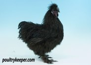 Black Silkie Male