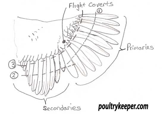 Chicken Wing Clipping Diagram
