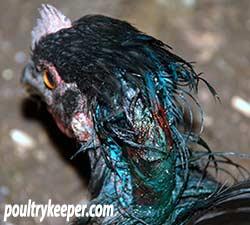 Chicken-with-wound