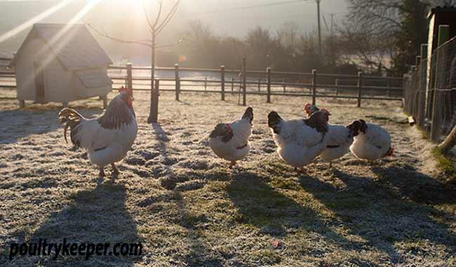 เลี้ยงไก่ช่วงฤดูหนาว