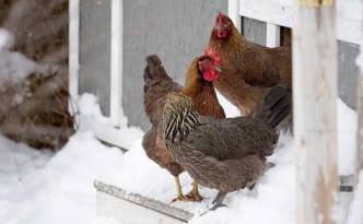 Chickens-in-cold-weather