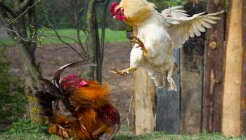 How to Dispatch a Chicken