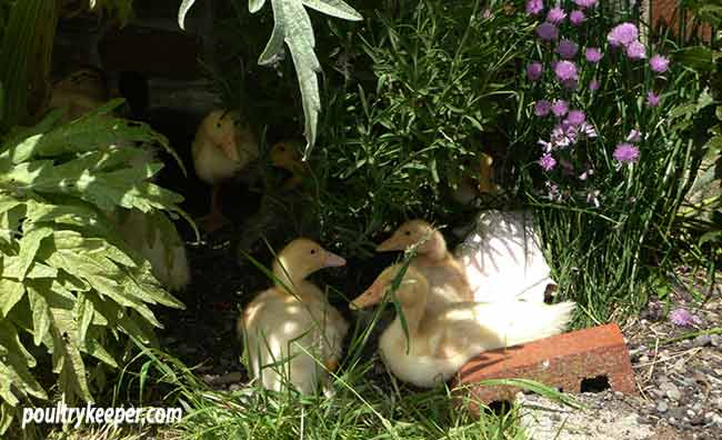 Ducklings-in-the-garden