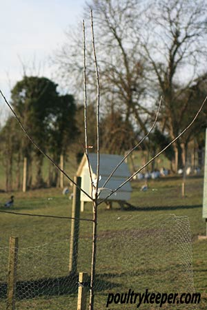 Young Fruit Tree protected with chicken wire