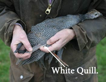 Wing Clipping Guinea Fowl