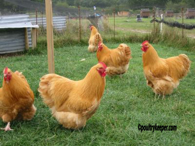 Buff Orpington Cocks